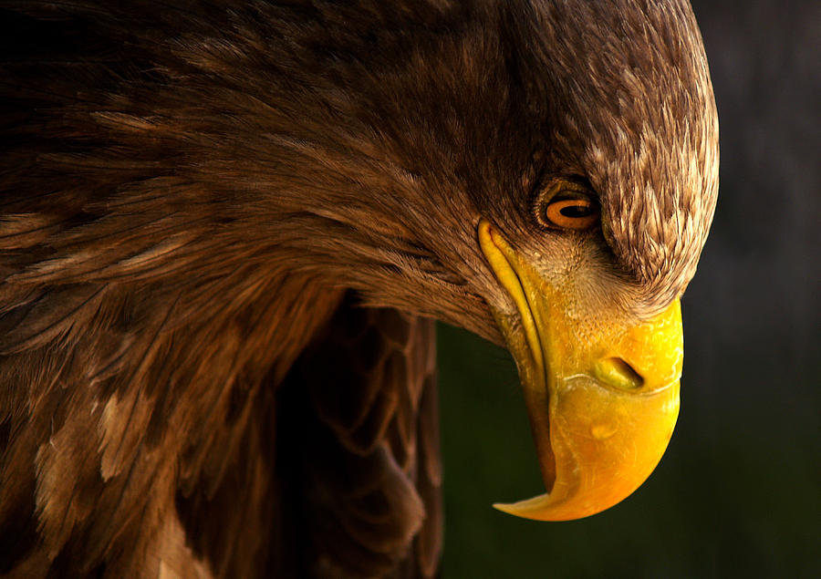 Eagle Photograph - Eagle Pursues Prey by Adriana K.h.