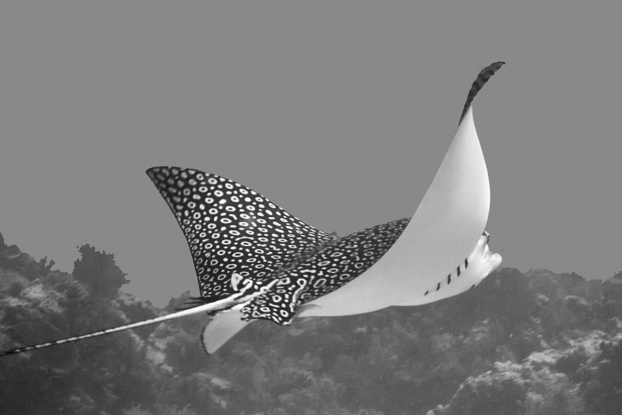 Eagle Ray by Paula Porterfield-Izzo