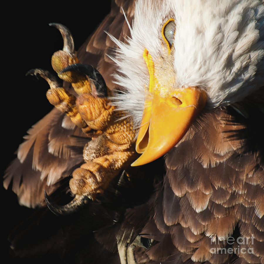 Eagle Scratch by Eyeshine Photography