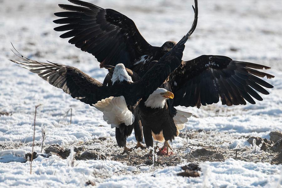 Bald Eagles Photograph - Eagle Scrum by Mike Dawson