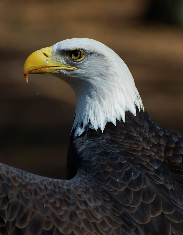 Eagle side view by Chris Flees