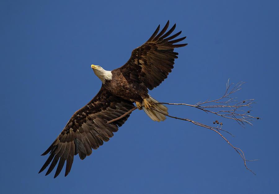 Eagle Snag by Beth Sargent