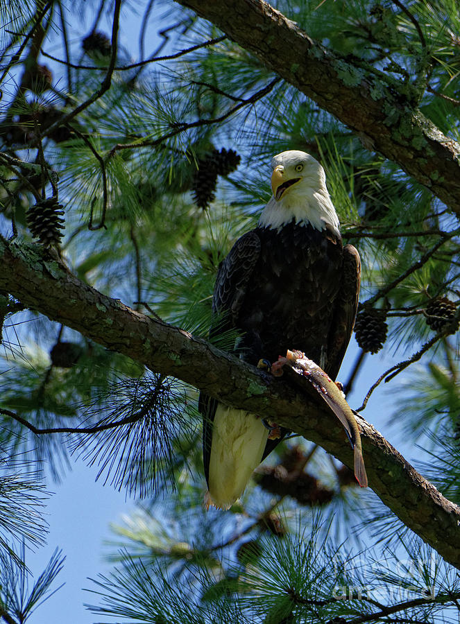 Eagle With Bass Photograph