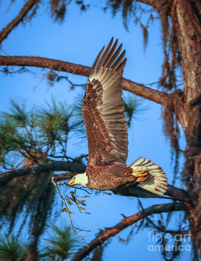 Eagle with Nesting Material by Tom Claud