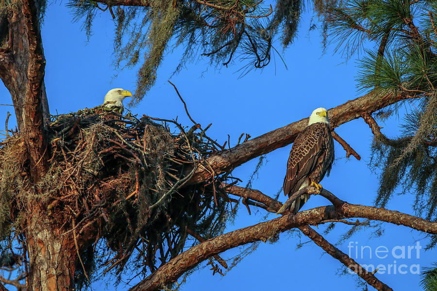 Eagles at Nest by Tom Claud