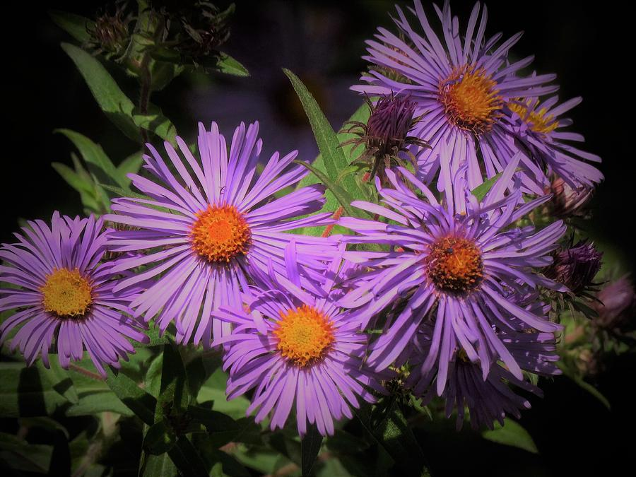 Asters Photograph - Early  Autumn Asters  by Lori Frisch