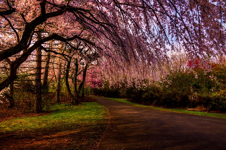 Early Morning Cherry Blossoms by Anthony Sacco