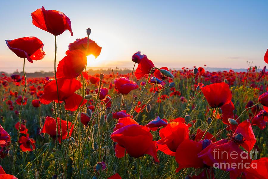 Sparkle Photograph - Early Morning Red Poppy Field Scene by Yuriy Kulik