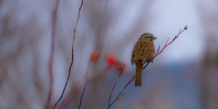 Early Spring Sparrow by Dave Matchett
