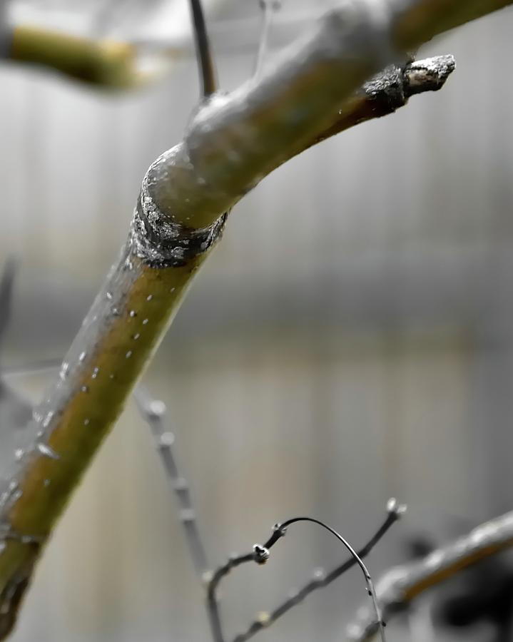 Early Winter Branch Photograph