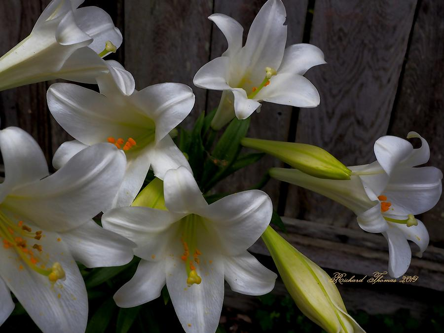 Easter Lily Group by Richard Thomas