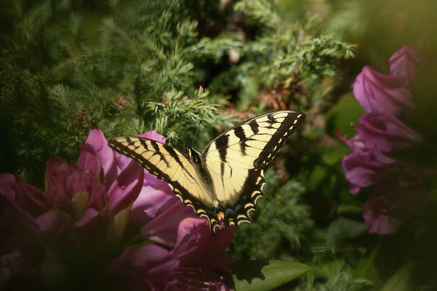 Easter Tiger Swallowtail on rhododendron by Jeff Folger