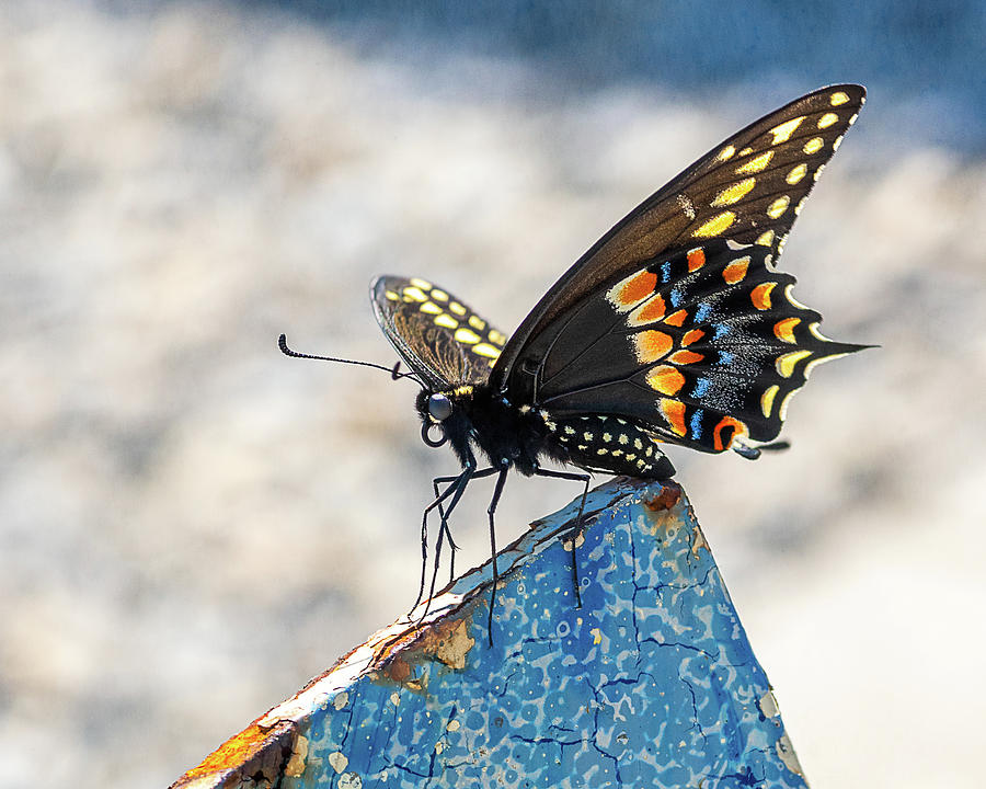 Eastern Black Swallowtail  by John Randazzo