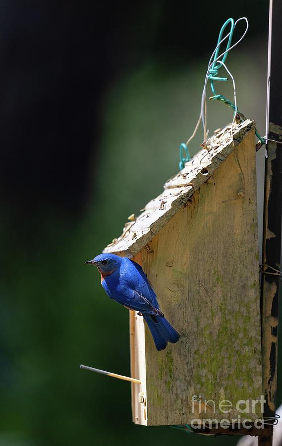 Eastern Blue Bird - Bird House by Dale Powell