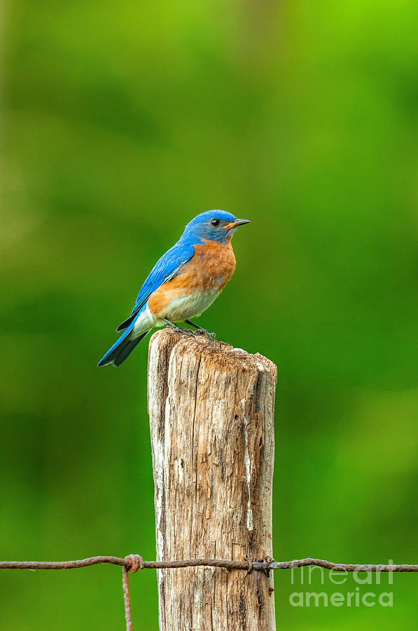 Eastern Bluebird  by Alan Schroeder