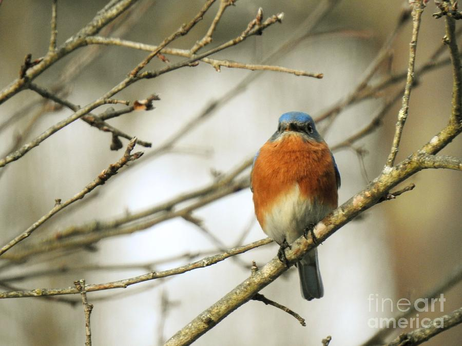 Eastern Bluebird At Rest  by Eunice Miller