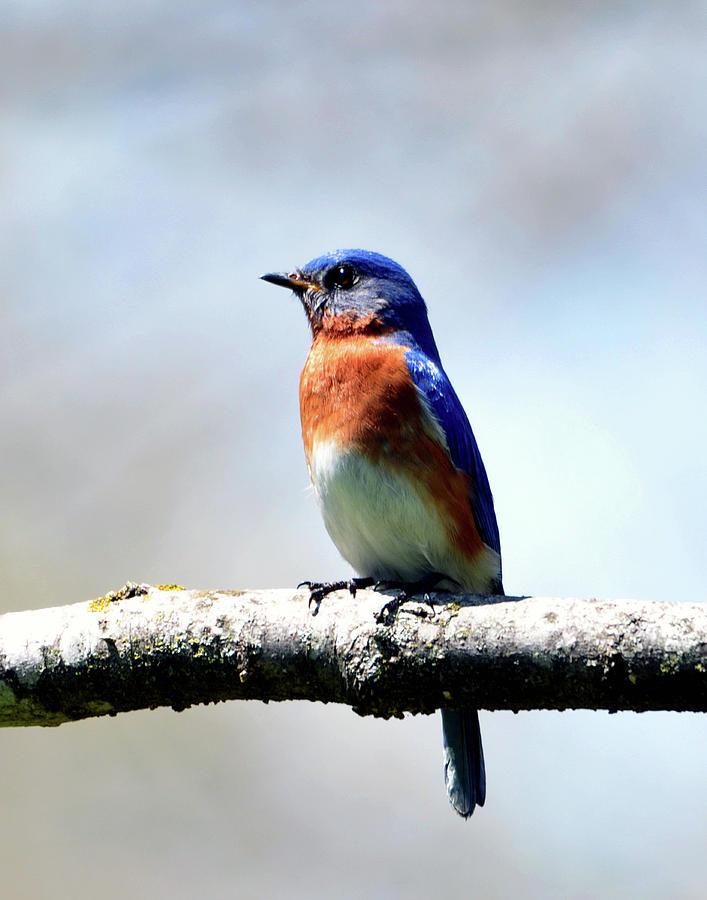 Bird Photograph - Eastern Bluebird by Daniel  T DuLany