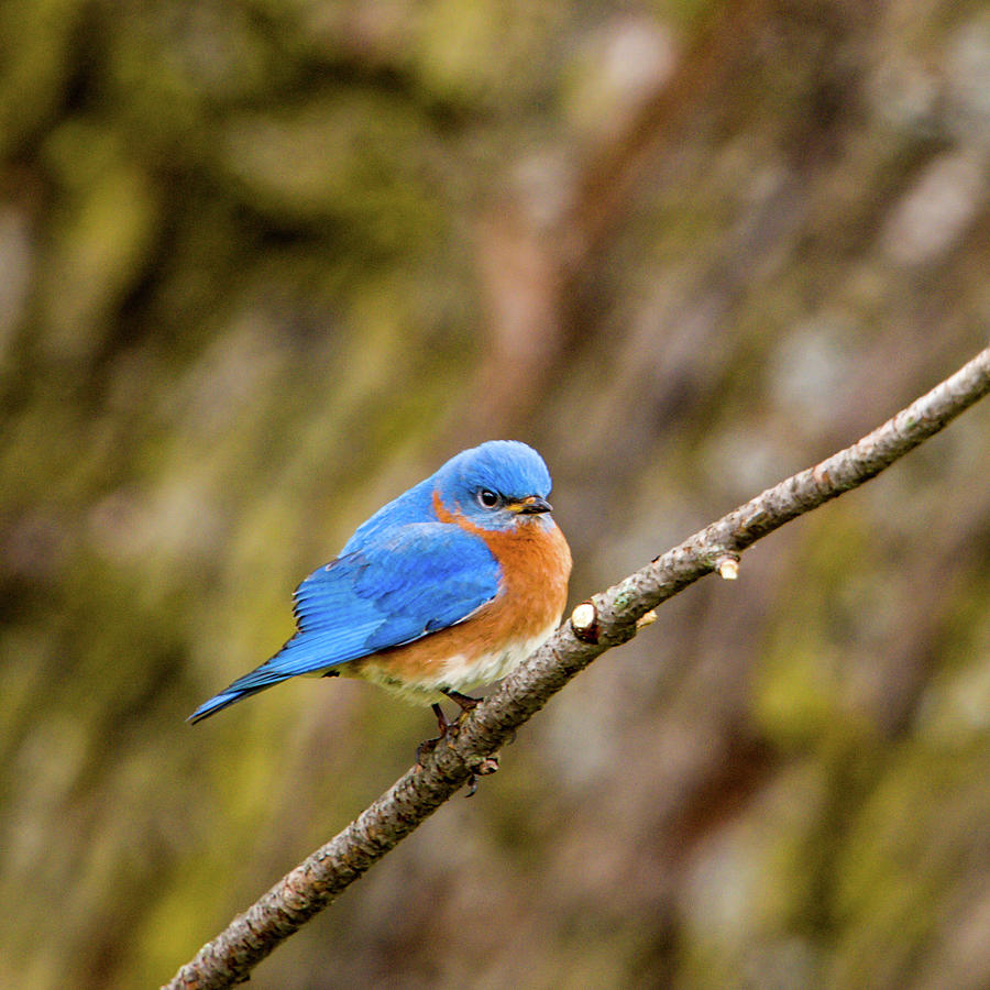 Eastern Bluebird by Jeff Phillippi