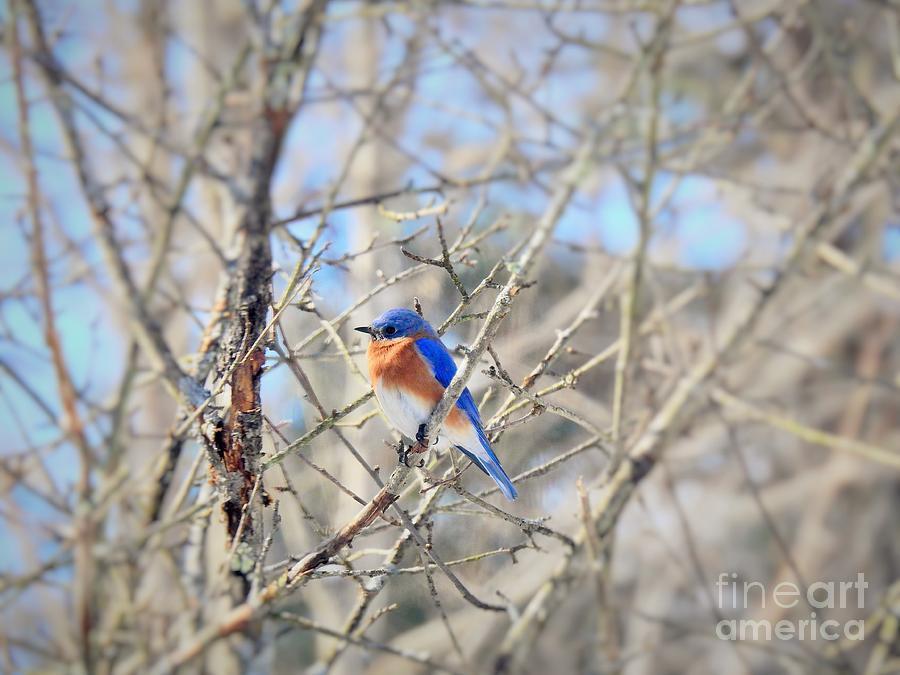 Eastern Bluebird Male by Eunice Miller