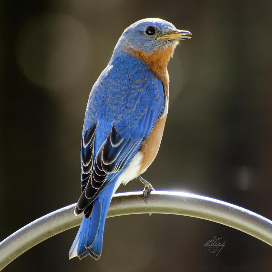 Eastern Bluebird by Michael Frank