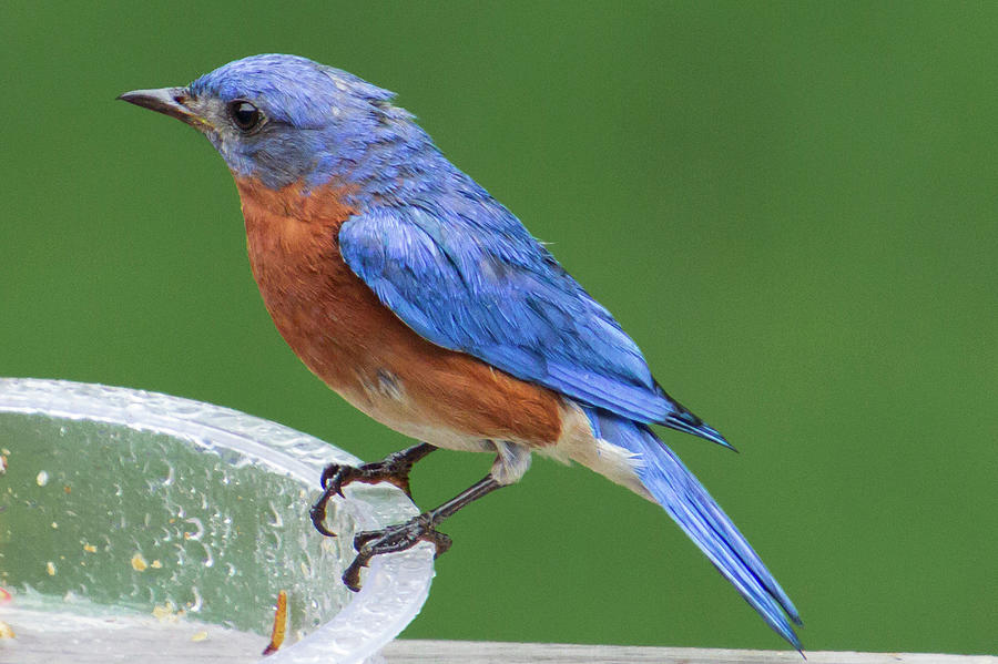 Eastern Bluebird by Randy Bayne