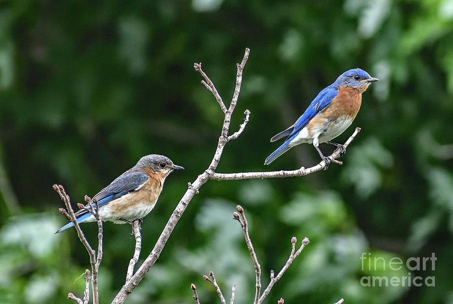 Eastern Bluebird Royals Photograph