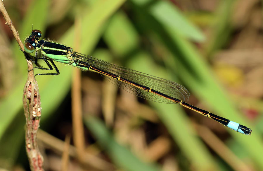 Eastern Forktail Damselfly by Larah McElroy