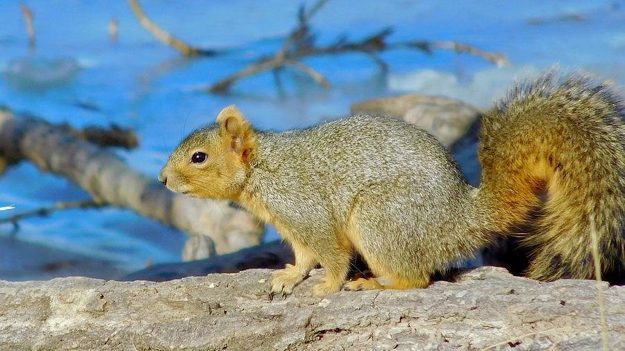 Eastern Fox Squirrel by Dan Miller