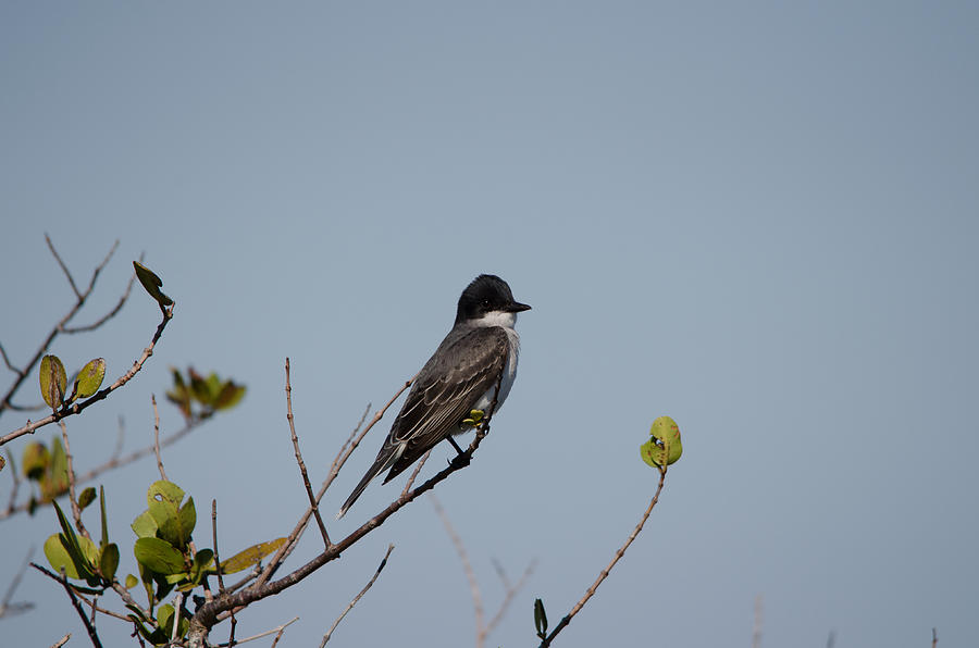 Eastern Kingbird Photograph