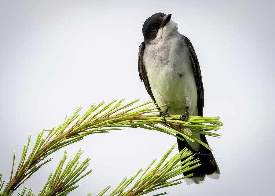 Canon Photograph - Eastern Kingbird Looking At Me by Ricky L Jones