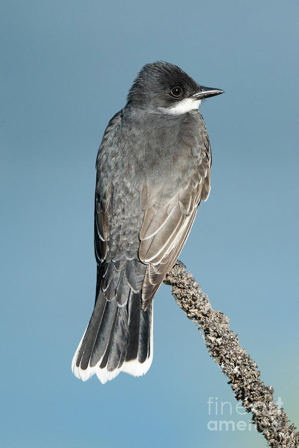 Eastern Kingbird profile by Mike Dawson