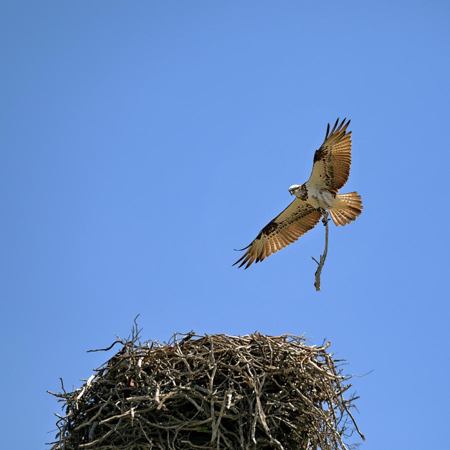 Eastern Osprey by Nicholas Blackwell