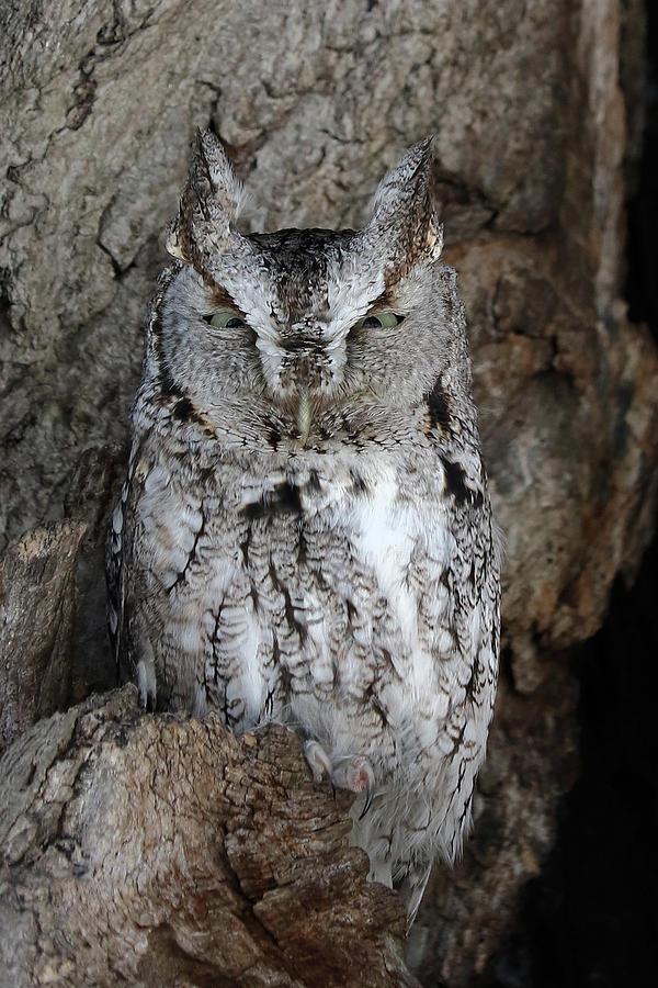 Eastern Screech Owl by Doris Potter