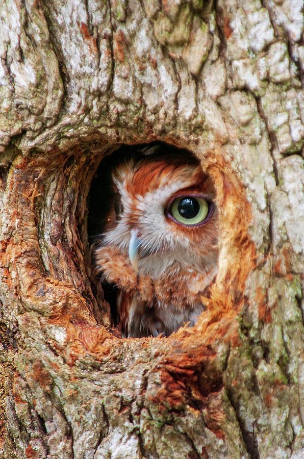 Eastern Screech Owl by Louis Dallara