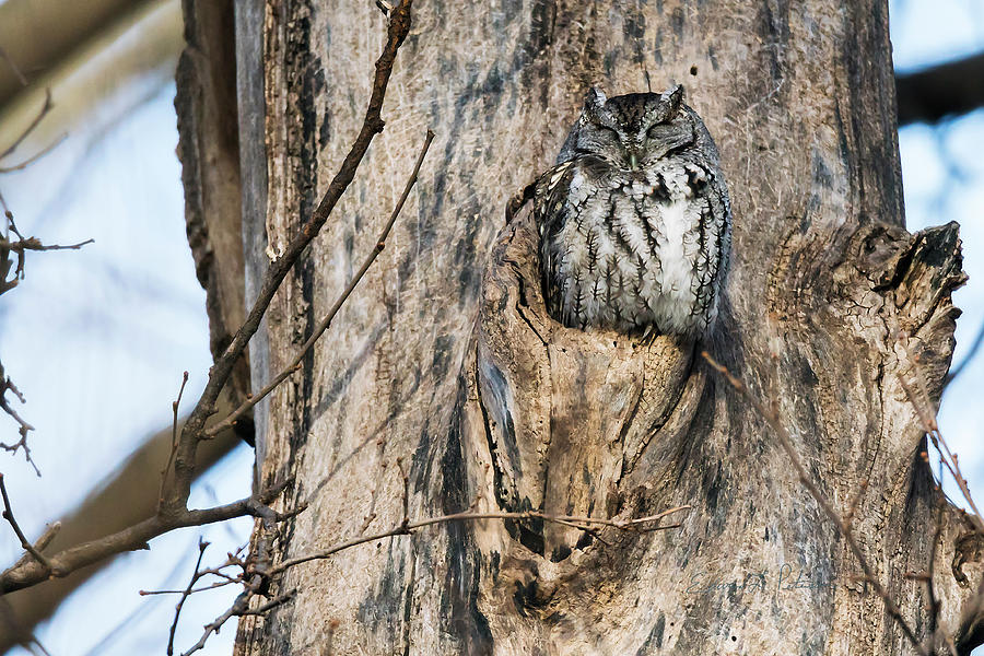 Eastern Screech-owl Perch by Edward Peterson