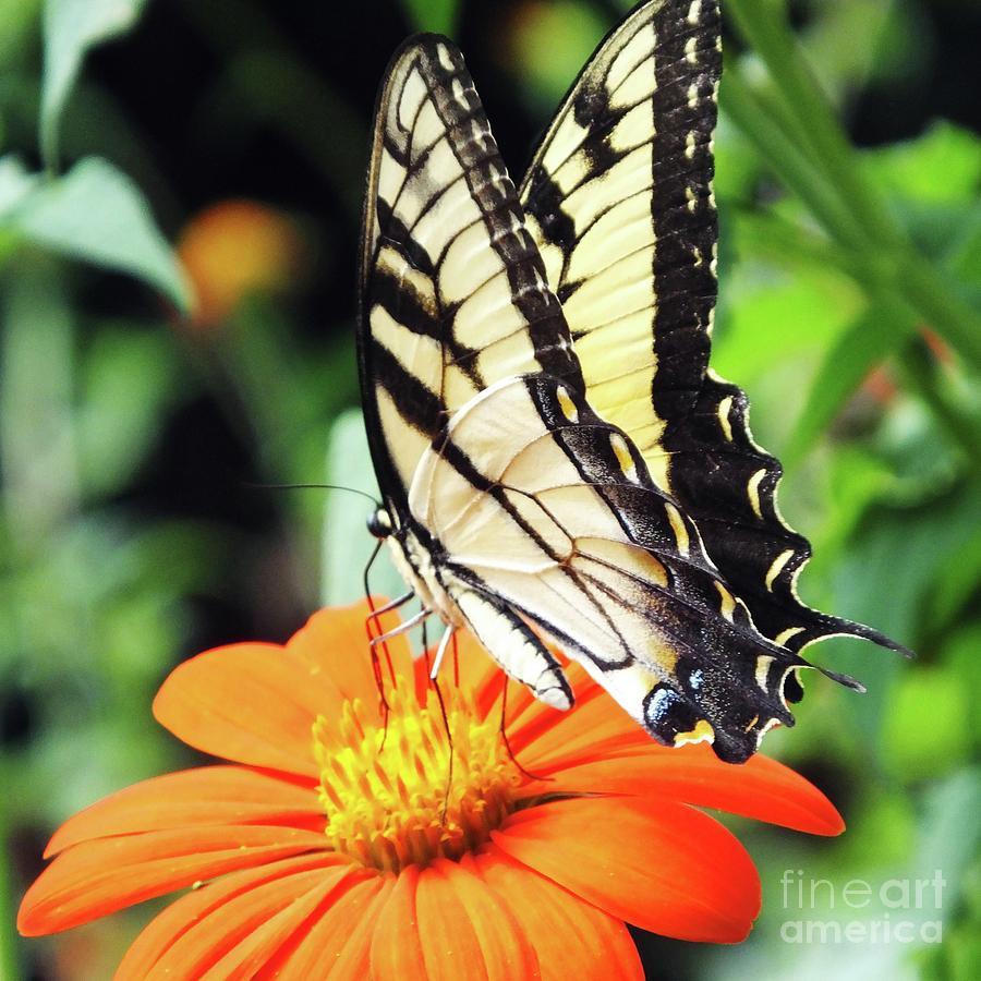 Eastern Swallowtail 86 by Lizi Beard-Ward