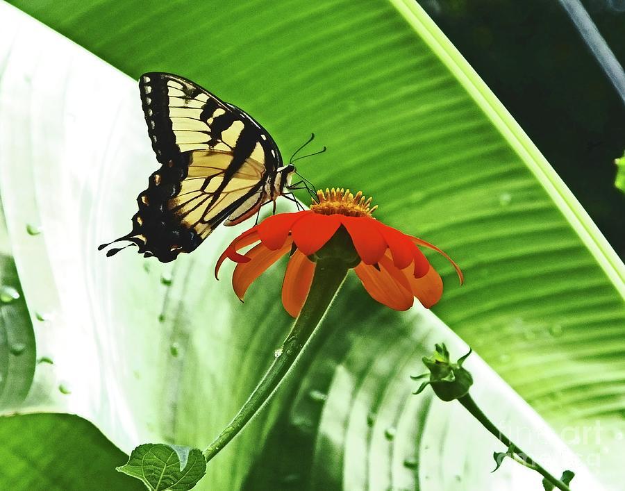 Eastern Swallowtail81 by Lizi Beard-Ward