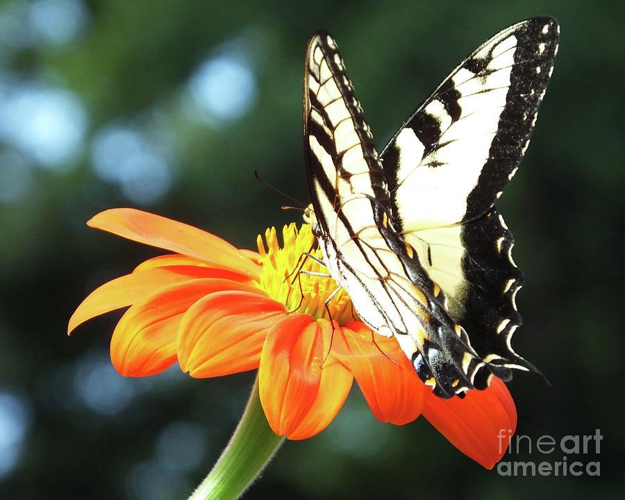 Eastern Tiger Swallowtail 82 by Lizi Beard-Ward
