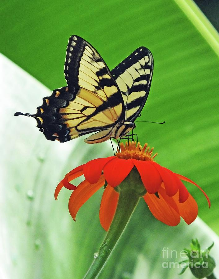 Eastern Tiger Swallowtail 84 by Lizi Beard-Ward