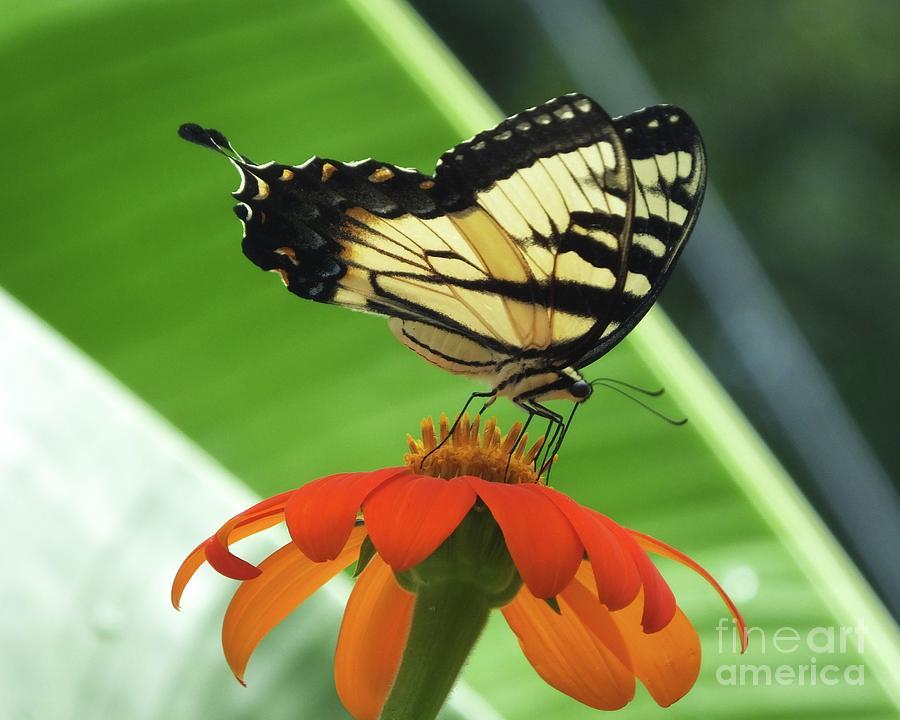 Eastern Tiger Swallowtail 85 by Lizi Beard-Ward