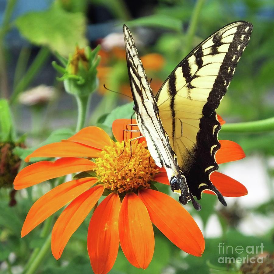 Eastern Tiger Swallowtail 87 by Lizi Beard-Ward