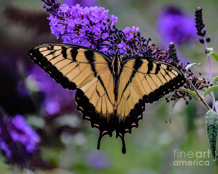 Eastern Tiger Swallowtail And Beautiful Butterfly Bush Photograph