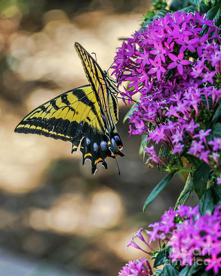 Eastern Tiger Swallowtail Butterfly  by David Meznarich