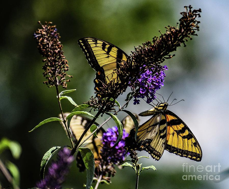 Eastern Tiger Swallowtail Threesome Photograph