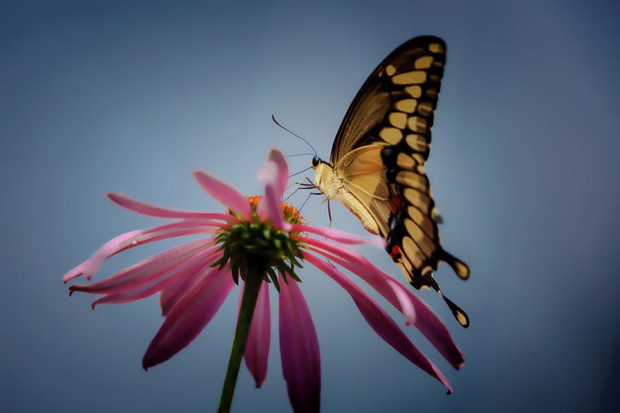 Eastern Tiger Swallowtail by Wes and Dotty Weber