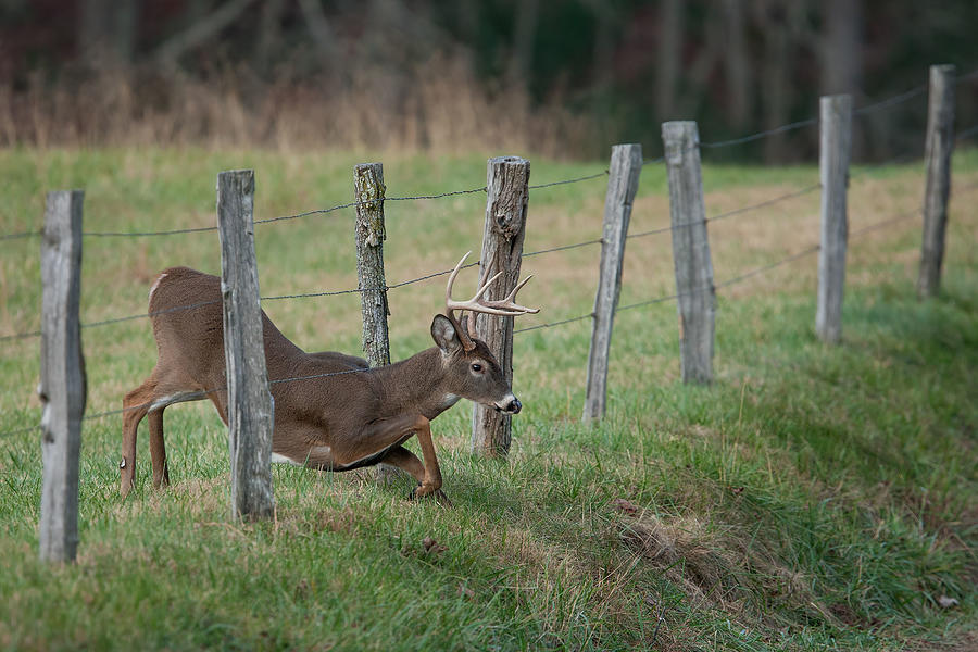 Whitetail Photograph - Easy Way Over by Nick Kalathas