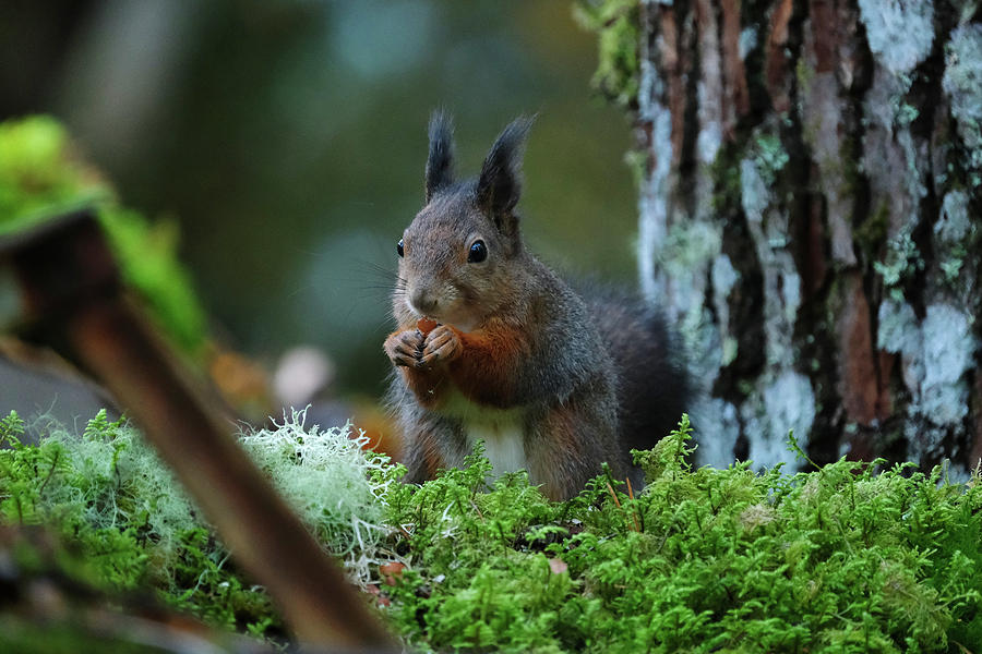 Eating squirrel by Magnus Haellquist