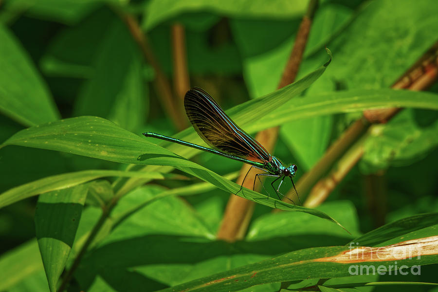 Ebony Jewelwing Damselfly - 1636 by Marvin Reinhart