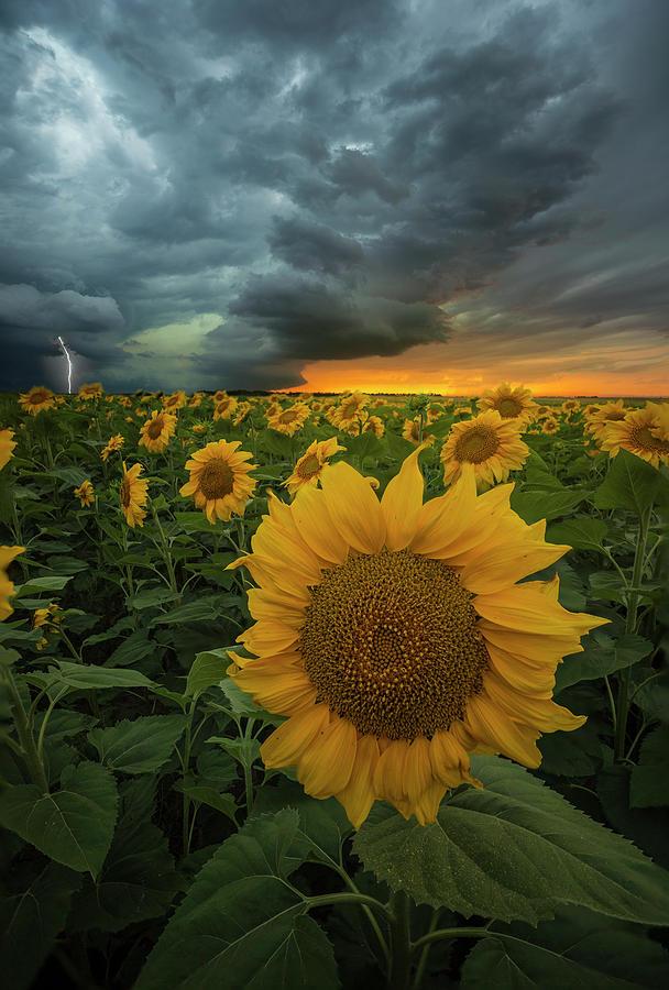 Sunflowers Photograph - Eccentric  by Aaron J Groen