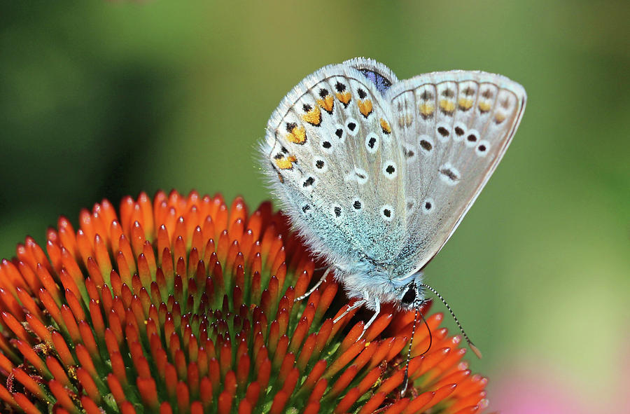 Echinacea And Common Blue Butterfly Photograph by Getty Images Verkauf